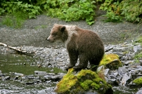 Denali National Park is home to Alaska's signature wildlife. Photo courtesy S. Moore