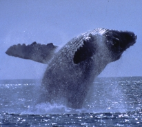 Humpback whales that spend their summers in Alaska can migrate over 15,000 miles each year